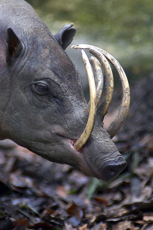 Babirusa - lợn hươu.