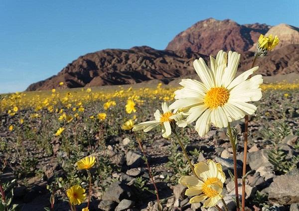 Hoa nở ngập tràn Thung lũng Chết