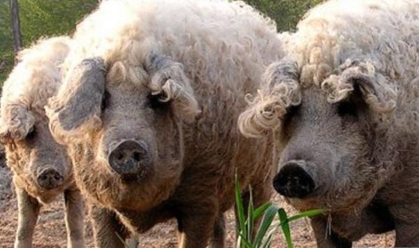 Loài lợn cừu hiếm có tại Hungary.