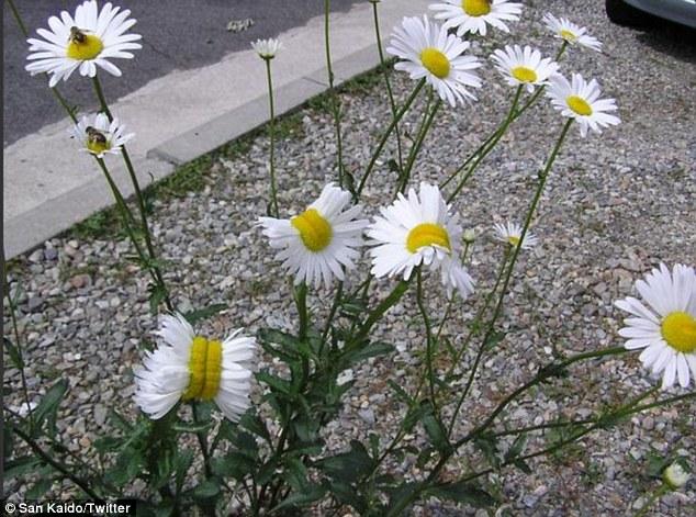 Hình dạng kỳ lạ, giống như hai bông hoa dính chặt với nhau.