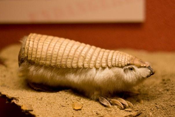 Một loài thuộc Tatu.