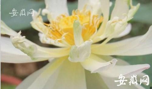 Hạt sen cổ đại 600 tuổi ở Trung Quốc nở hoa khiến mọi người ngỡ ngàng