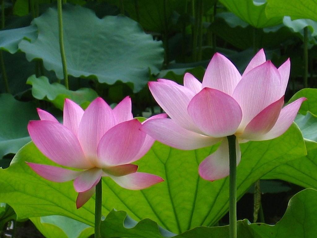 Hoa sen là biểu tượng cho sự thuần khiết, tinh tế