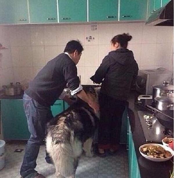 Chú chó Husky to xác lẻn vào bếp ăn vụng