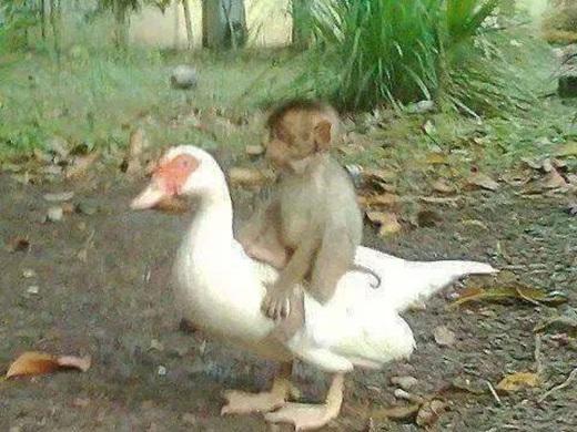 Tình bạn khăng khít giữa khỉ và ngỗng