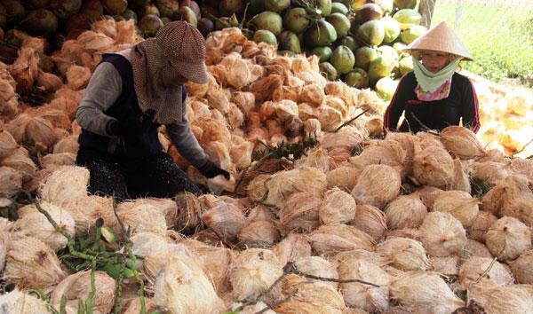 Các cơ sở thu mua và sơ chế dừa ở Hoài Đức sử dụng rất nhiều lao động nông thôn. Ảnh: D.T