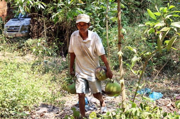 Dừa tươi đang mang lại nguồn lợi cho cả chủ vườn và người hái dừa thuê. Ảnh: D.T