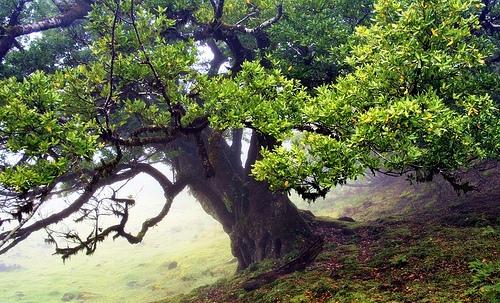 Lá của cây Garoe có thể chảy nước thành vòi