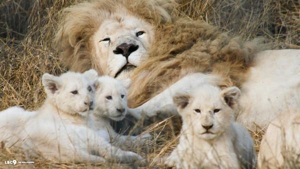 Thời thơ ấu đáng yêu của những động vật săn mồi.4