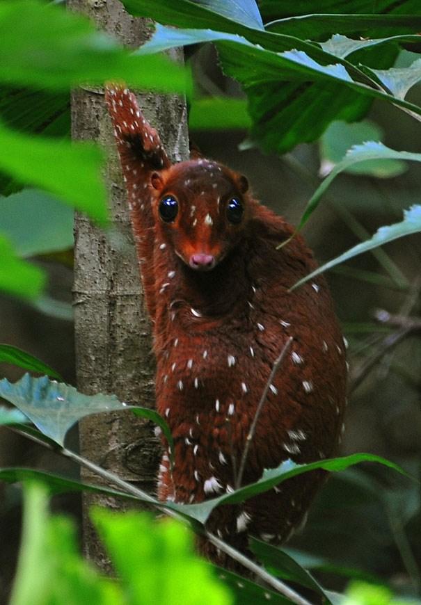 Sóc lemur Sunda Colugo.