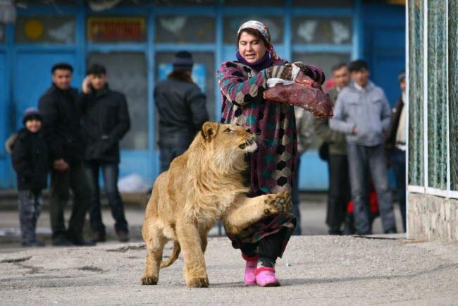 Cô Zukhro dắt một con sư tử đực trong khuôn viên vườn thú ở thành phố Dushanbe, Tajikistan.