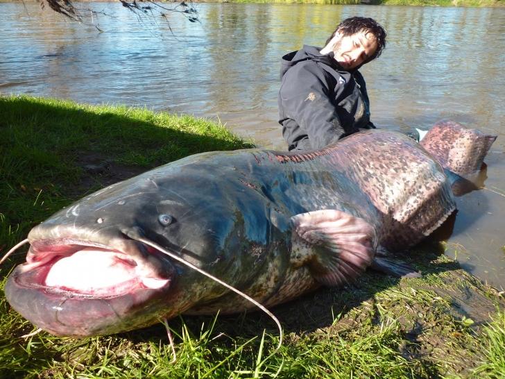 Đây có lẽ là một con cá sống ở vùng nước ngọt thuộc họ cá da trơn và là một trong số những con cá có kích thước khủng nhất thế giới.