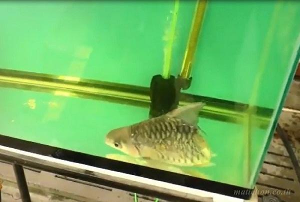 Chú cá sống sót thần kỳ dù mất cả nửa thân.