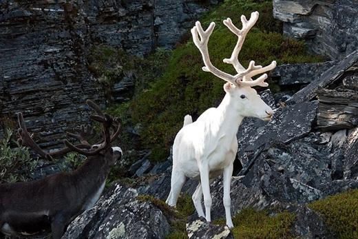 Ấn tượng trước những động vật bị bạch tạng đẹp như trong truyền thuyết.4