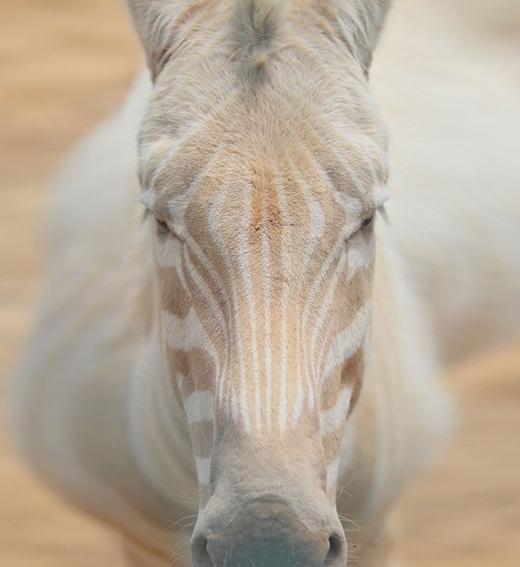 Ấn tượng trước những động vật bị bạch tạng đẹp như trong truyền thuyết.16