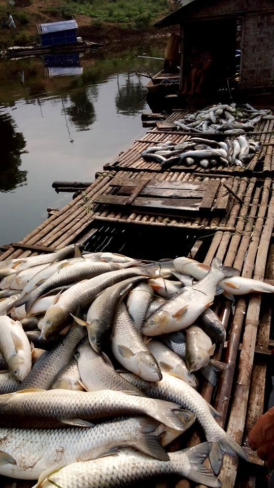 Cá lồng chết hàng loạt trên sông Bưởi.