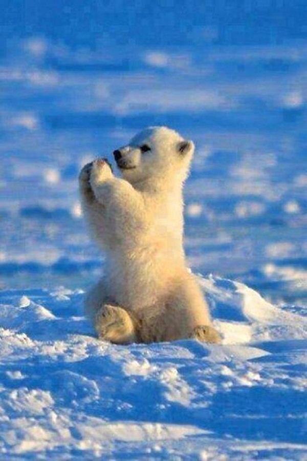 em là cục bông ở Bắc Cực