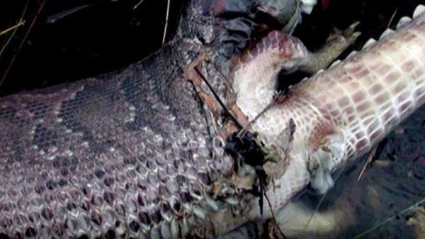 Các chuyên gia cho rằng, con trăn đã nổ tung bụng do sự tích tụ khí khi nó không thể tiêu hoá được con cá sấu trong bụng.