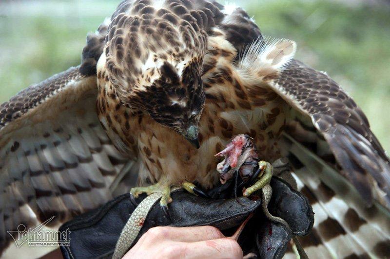Người chơi dùng mồi giả để tập luyện cho chim, sau đó sử dụng mồi thật bằng các loài chim cút, chim bồ câu. (Ảnh Vietnamnet)