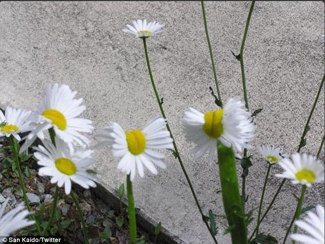 Những bông hoa cúc bị đột biến.