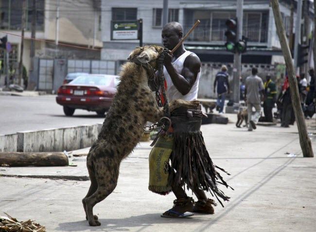 Linh cầu được chủ đưa đi dạo phố ở Lagos, Nigeria.