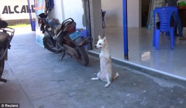 Chú chó được rất nhiều người mến mộ vì nỗ lực phi thường.