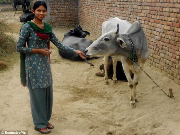 """Gia đình Manju Dharra đã nuôi bò sữa để phục vụ cho nhu cầu """"không ăn"""" của cô."""