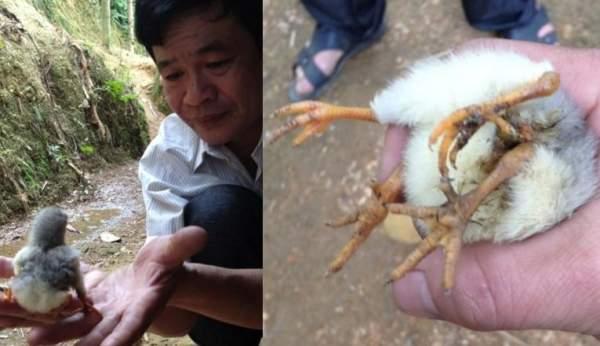 Chuyện lạ, những chú gà 4 chân khắp đất nước Việt Nam