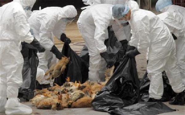 Hong Kong tiêu hủy 4.500 gia cầm do lo ngại virus H7N9. (Ảnh: Telegraph.co.uk)