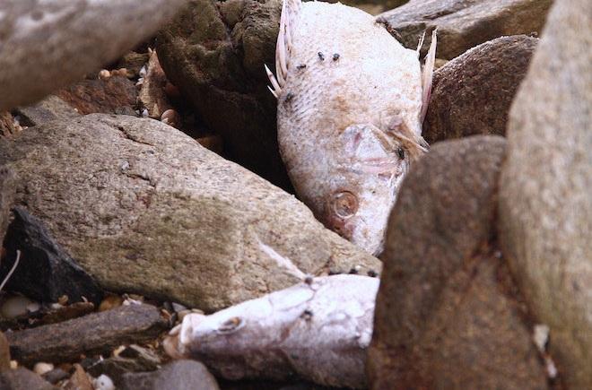 Cá chết tại khu vực biền Vũng Áng. (Ảnh: Internet)