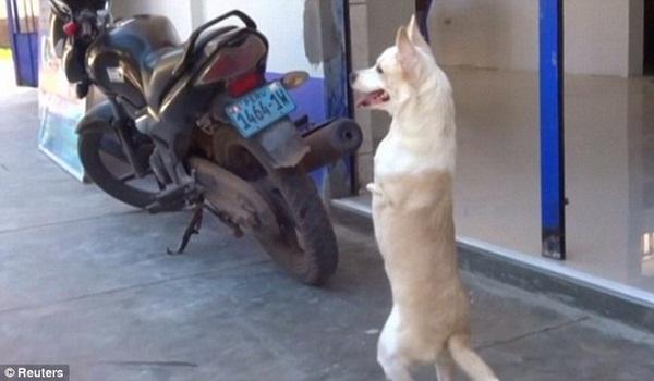 Nhờ nỗ lục của bản thân chú chó có thể di chuyển bằng hai chân sau.