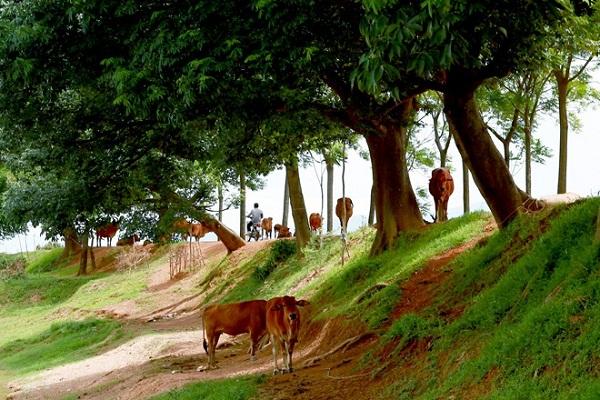 Những chú bò nghỉ ngơi dưới hàng cây rợp mát.