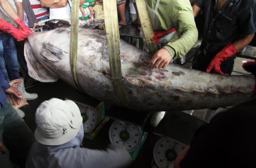 Cá ngừ vây xanh nặng gần 310 kg, dài khoảng 1,5 m được doanh nghiệp mua gần 60 triệu đồng.