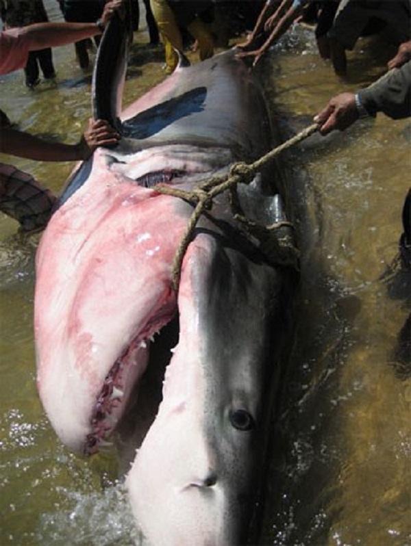 Cá mập voi đã nhiều lần dạt vào bờ biển Việt Nam và được các ngư dân mai táng theo nghi lễ trọng thể của người vùng biển.