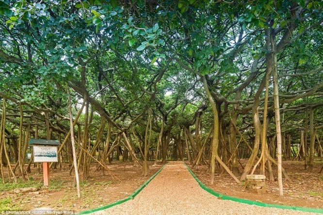 Cây đa có tán rộng kinh ngạc khiến nhiều người lầm tưởng là khu rừng - H2