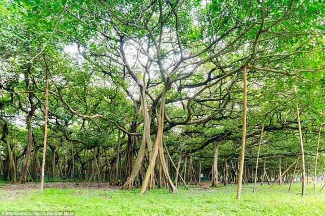 Cây đa có tán rộng kinh ngạc khiến nhiều người lầm tưởng là khu rừng - H3