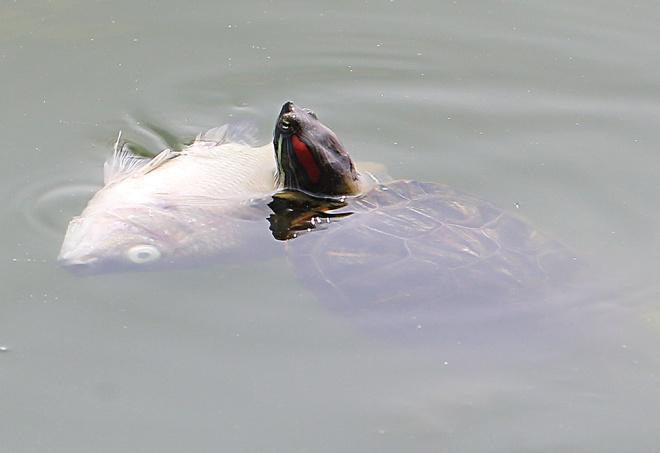 Từ số nhà 145 Trích Sài nhìn ra hồ, một con rùa bám vào cá chết để ngoi lên mặt nước.