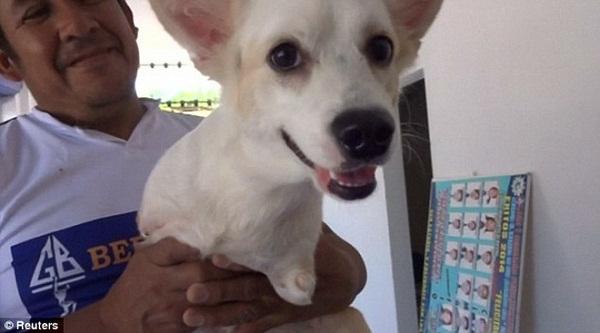 Chú chó tội nghiệp khi sinh ra đã không có hai chân trước.
