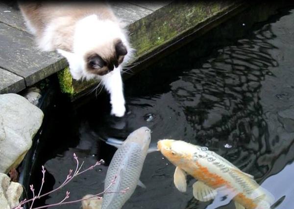 Chuyện lạ: Mèo và cá ngày nào cũng gặp mặt để trao nhau những nụ hôn.4