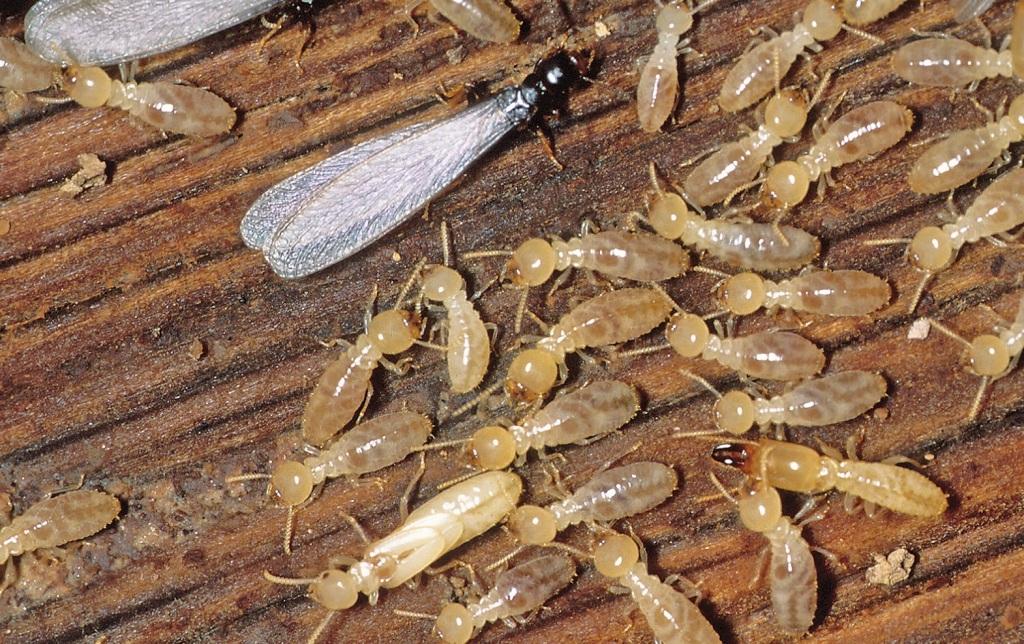 44-Termite-E-Subterranean-Termite-
