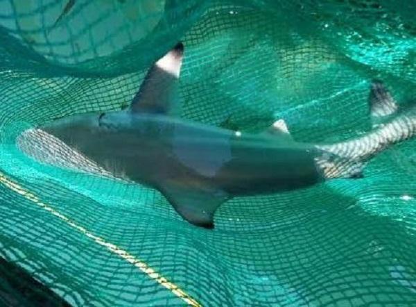 Ở vùng biển Việt Nam, cá mập trắng cũng xuất hiện và đang là nghi phạm số một của vụ tấn công người trên vùng biển Quy Nhơn.