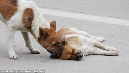Mãi một lúc sau không thấy người bạn tỉnh dậy, chú chó đi đến dùng mũi để đẩy đẩy.