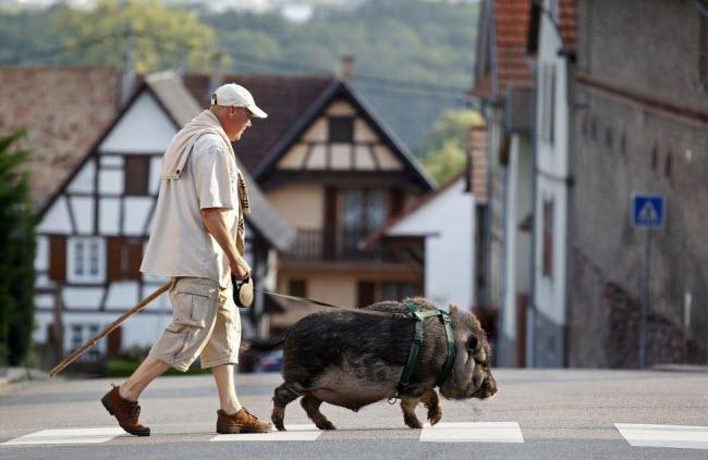 Người đàn ông dắt con lợn rừng qua đường gần ngôi làng Kolbsheim ở Strasbourg, Pháp.