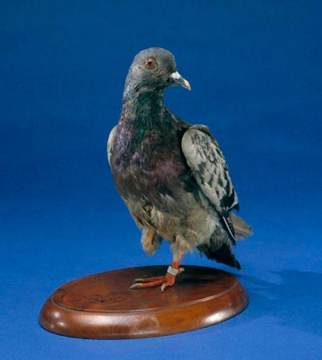 Những con vật nổi tiếng trong quân đội Mỹ Thế chiến I.5
