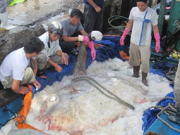 Ngư dân Việt Nam từng bắt được con cá mặt trăng nặng hơn 4 tạ.
