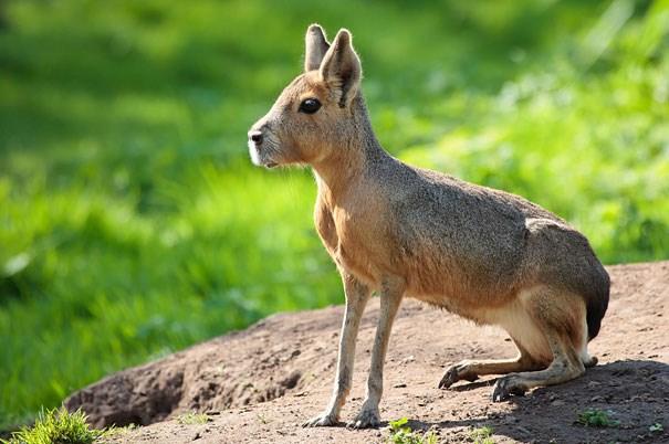 Patagonian Mara, vừa giống thỏ, lại vừa giống chó.