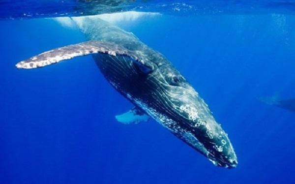 Cá voi xanh cũng xuất hiện nhiều trên Biển Đông, ngư dân Việt Nam gọi cá voi xanh là cá ông và coi chúng như một vị thần hộ mệnh trên biển cả.