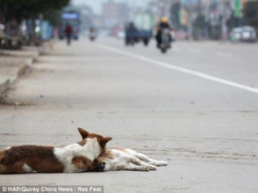 Thấy không có kết quả, chú chó lôi người bạn vào lề và nằm bên cạnh suốt 6 giờcho đến khi có người tớigiúp.