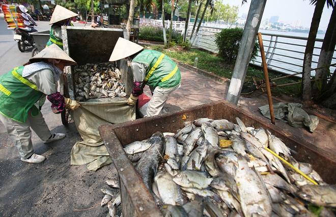 Công nhân môi trường thu gom cá chết để xử lý theo đúng quy trình.