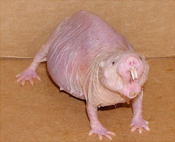 Chuột chũi không lông.